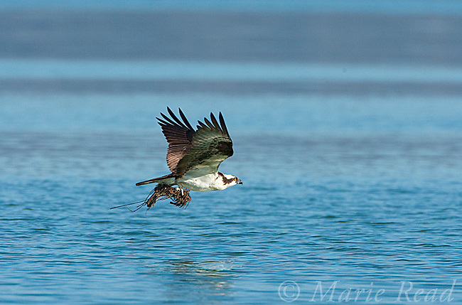Osprey (Pandion haliaetus) carrying nest material in flight, Mono Lake, California, USA