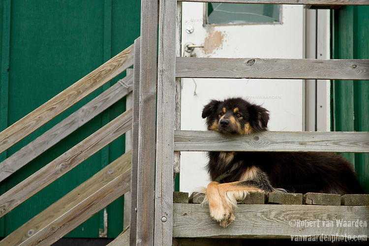 A dog at rest on the porch in Tasiussaq, Greenland.