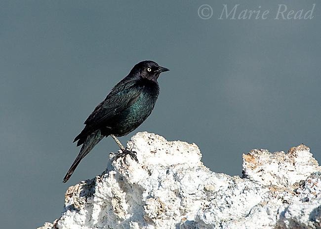 Brewer's Blackbird (Euphagus cyanocephalus), male perched on tufa tower, Mono Lake, California, USA