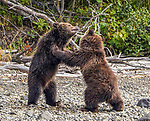 Wrestling bear cubs by Jenny Stevens