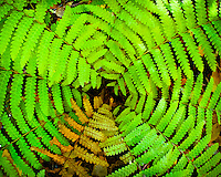 An Interrupted Fern (Osmunda Claytoniana) grows in rich, mesic woods and open woods in a symmetrial clump as this fisheye lens view shows with it's Fall colors.
