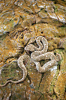 Eyelash viper snake, Tortuguero National Park, East Coast, Tortuguera, Limon, Costa Rica