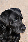 Black Labrador retriever (AKC) looking intently at something
