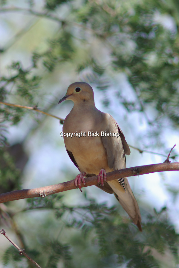 Mourning Dove on a shade tree branch in southern Arizona on a spring day.