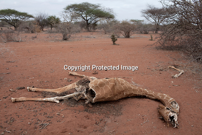LAGBOGOL, KENYA - JULY 5: The carcass of a Somali giraffe, also known as reticulated giraffe, lies in a barren area on July 5, 2011 in Lagbogol, Kenya. Two successive poor rains, entrenched poverty and lack of investment in affected areas have pushed millions of people into a fight for survival in the Horn of Africa. This is the driest this area has been since sixty years. People in smaller town are usually fortunate to have water. In rural areas, most wells has dried up and some people was as much as eight kilometers to fetch water. Most of the livestock has perished and the remaining stock has often been taken far away for better conditions. Many has even crossed into neighboring Somalia for better pasture.  (Photo by Per-Anders Pettersson).