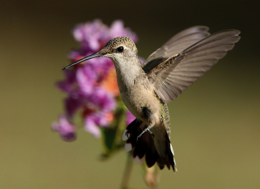 Black-chinned Hummingbird female (Archilochus alexandri)
