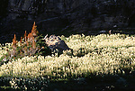 A field of bear grass in Glacier National Park, Montana.