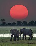 African elephants, Chobe National Park, Botswana