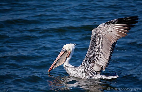 Brown pelican about to fly