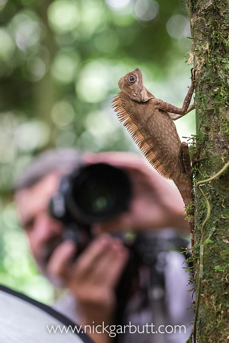Long-crested Forest Dragon (Gonocephalus bornensis) being photographed (by Adrian Davies) in lowland rain forest, Danum Valley, Sabah, Borneo.