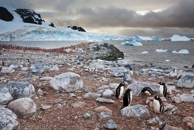 Gentoo penguin colony on Cuverville Island, western Antarctic peninsula.