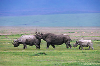 Black Rhinoceroses--cow with calf is being courted by large bull.  Africa.