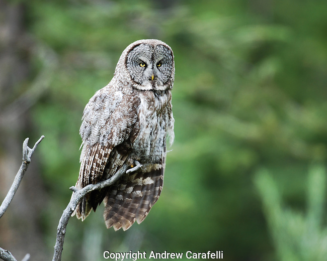 A Great Gray Owl hunts for food from a  perch in Northwest Wyoming.