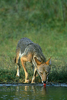 617500001v1 a wild coyote canis latrans cautiously drinks from a small pond on a private ranch in the rio grande valley of south texas