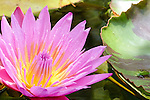 San Diego, California; a pink and yellow lily pad flower grows on the surface of a pond