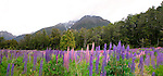 Lupins, Fiordland, New Zealand