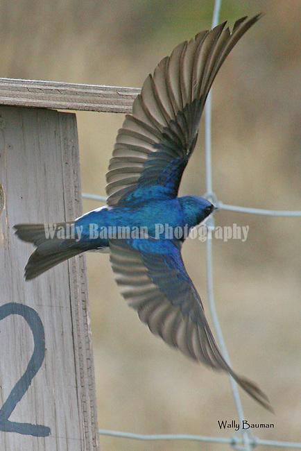 Birds of North America, tree swallow, tachycineta bicolor