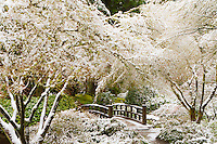 Late Spring snow cover the Japanese maple trees that frame the Moon bridge and snowy path into the woods in the strolling garden of the Portland Japanese Garden.