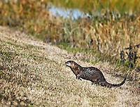 Wet Otter running in the grass at Viera Wetlands, Florida