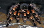 Mexican Red Knee Tarantula, Brachypelma smithi, captive, on rock, spider, hairy.Central America....