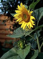 Sunflower in Morning Sun