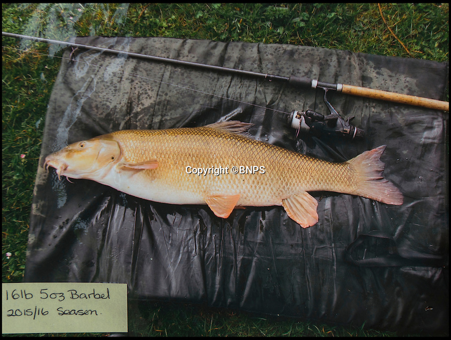 """BNPS.co.uk (01202 558833)<br /> Pic: TomWren/BNPS<br /> <br /> A 16lb 5oz Barbel.<br /> <br /> A mystery fishing """"genius"""" has sparked intrigue after pinning photos of his monster catches inside an angling club's riverbank lodge - in an enigma being dubbed 'Good Will Fishing'.<br /> <br /> The anonymous fisherman has systematically worked his way through a tough stretch of the River Avon and pulled in 19 once-in-a-lifetime catches in the last 12 months.<br /> <br /> And much like 1997 film Good Will Hunting, in which Matt Damon's genius character anonymously solves near-impossible mathematical equations while working as a janitor at a prestigious university, the angling Einstein showcases his brilliance in secret."""
