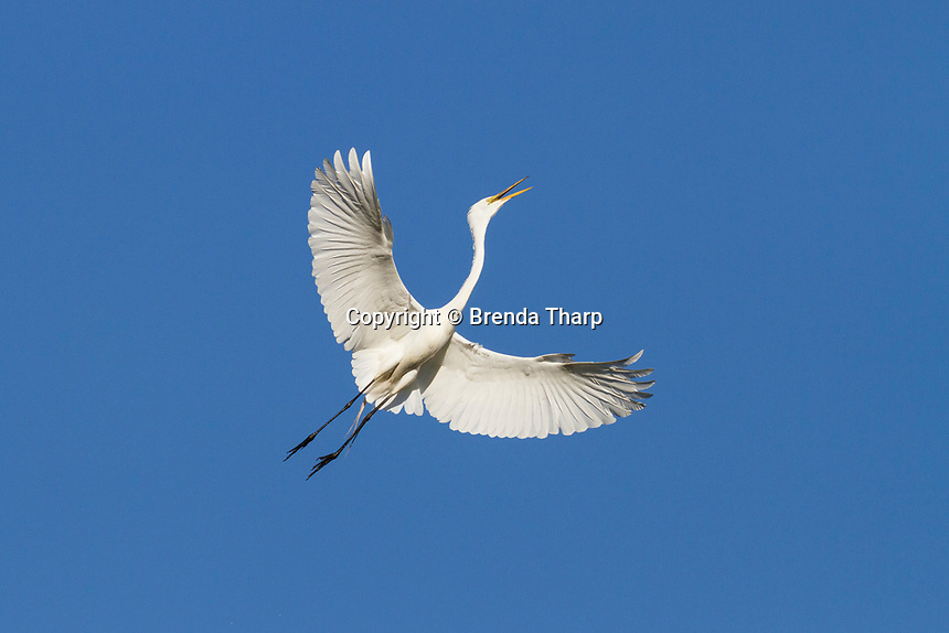 A Great Egret in flight with wings spread announces its arrival at the rookery, northern California.
