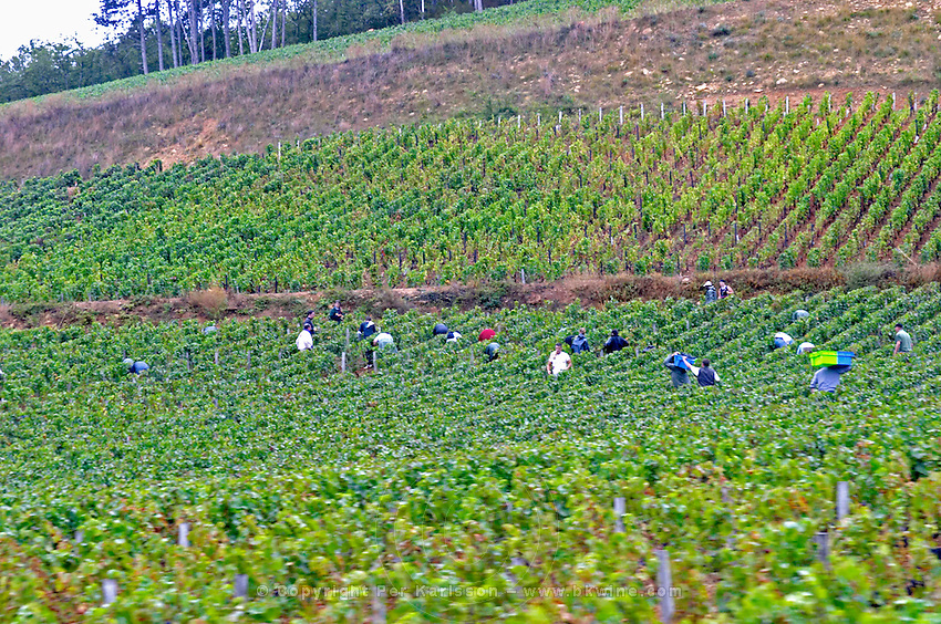 harvesting vineyard pernand-vergelesses cote de beaune burgundy france