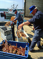 Snow Crab Harvest. Nova Scotia Canada Commercial pier.