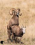 Bighorn sheep ram breeding ewe during the rut.  Western Montana.