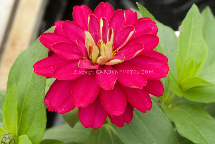 Zinnia Zahara Double Cherry, double flowered hot pink annual flowers