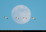 Snow Geese at Sunset, Flight past the Moon, Bosque del Apache National Wildlife Refuge, New Mexico