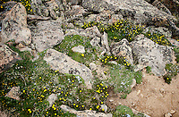 Ranunculus adoneus or snow buttercup wildflower on the Ute Trail off Trail Ridge Road in Rocky Mountain National Park, in Colorado, Saturday, July 2, 2011. The elevation at the Ute Trail is 11466 feet...Photo by Matt Nager