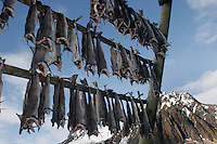 Stockfish is fish, especially cod, dried by sun and wind on wooden racks on the foreshore called flakes. The drying of food is the world's oldest known preservation method. Cod fishing is a traditional practice in Lofoten, home to around 24,500 people and and an area where locals have been producing Stockfish for over 1000 years. Lofoten is where the World's largest and last cod stocks are found, in the Barent's Sea. Fishing is as strong an industry as tourism in this region.