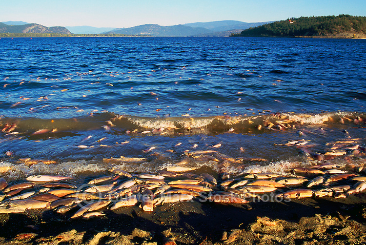 Annual Adams River Sockeye Salmon Run (Oncorhynchus nerka), Roderick Haig-Brown Provincial Park near Salmon Arm, BC, British Columbia, Canada - Dead Fish rotting along Shore of Shuswap Lake - note dead fish floating on water