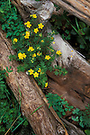 Shrubby cinquefoil (Pentaphylloides floribunda) and logs, Pike National Forest, Colorado