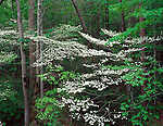 Great Smoky Mountains National Park, TN/NC<br /> Flowering dogwood trees (Cornus florida) in spring deciduous forest along the Little River Road