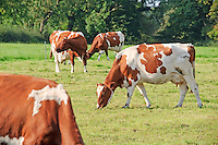 Ayrshire cows grazing near Preston, Lancashire....Copyright..John Eveson, Dinkling Green Farm, Whitewell, Clitheroe, Lancashire. BB7 3BN.01995 61280. 07973 482705.j.r.eveson@btinternet.com.www.johneveson.com
