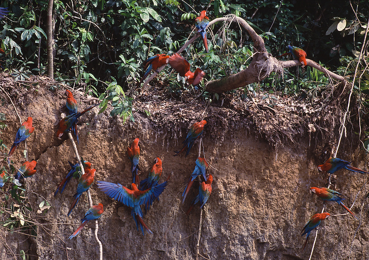 Red and green macaws at clay lick