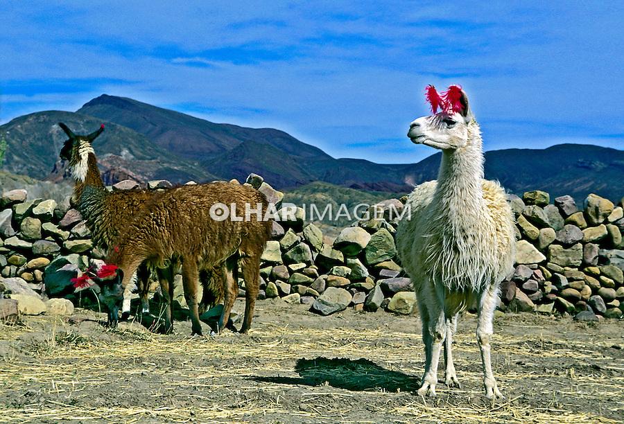 Rebanho de Lhamas na Cordilheira dos Andes. Bolivia. 1998. Foto de Juca Martins.