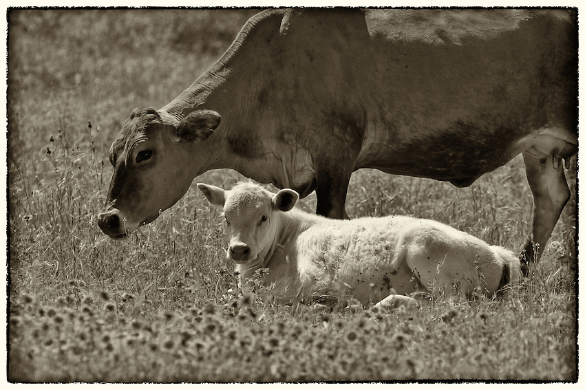 White spring calf with mom in sepia.