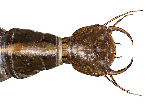 Great Diving Beetle Larva - Dytiscus marginatus