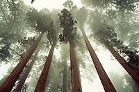 Giant Sequoia (Sequoiadendron) trees, the most massive trees on earth in early morning fog at the Sierra Nevada, Sequoia National Park, CA