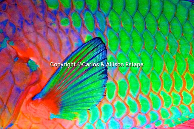Scarus guacamaia, Rainbow parrotfish, Florida Keys