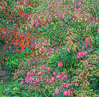 Himalayan Spindle Tree, Elderberry and Black Gum in autumn