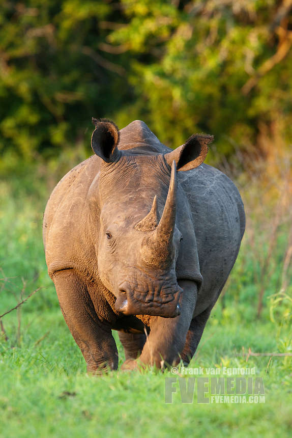 White Rhinoceros (Ceratotherium Simum)..Head-on portrait. Near Threatened...Hluhluwe Imfolozi Game Reserve..Kwazulu-Natal, South Africa..November 2010.