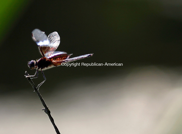 Litchfield, CT-03 August 2012-080312CM04-  COUNTRY LIFE ONLY PLEASE-- A dragon fly holds onto pond grass at White Memorial in Litchfield.    Christopher Massa Republican-American
