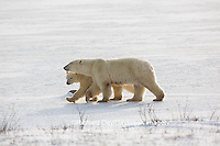 01874-13719 Polar Bears (Ursus maritimus) female with 1 cub. Churchill Wildlife Management Area, Churchill, MB Canada