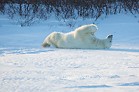 01874-13520 Polar Bear (Ursus maritimus) lying on back, Churchill Wildlife Management Area, Churchill, MB