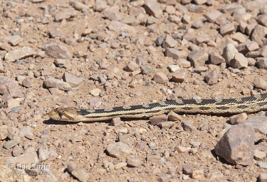 Great Basin gopher snake, Pituophis catenifer deserticola, crossing Titus Canyon Road in Death Valley National Park, California